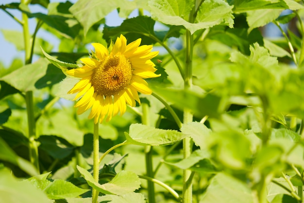 Подсолнух цветущий в саду