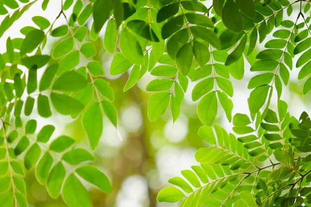 葉の焦点を選択してください、葉は新緑です
