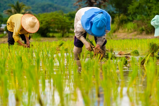 青い帽子をかぶって田んぼに田植えをする女性農家灰色の長袖のシャツを着てゴム手袋をした人が働いています田植え