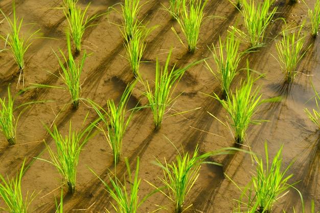 米は田んぼで栽培されています