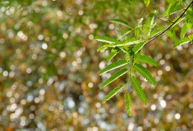 抽象的なぼやけた自然、タマリンドの葉