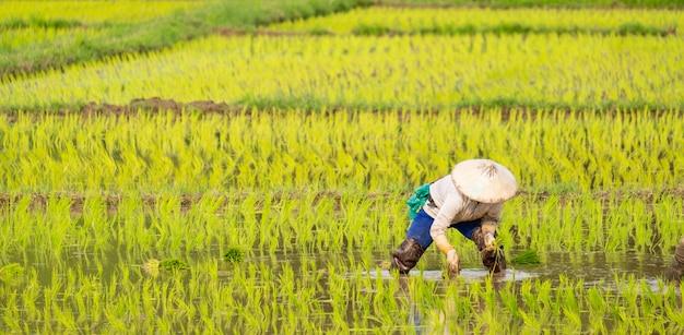 農家は農場で稲を植えています