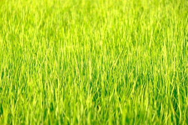 稲は水田で成長しています