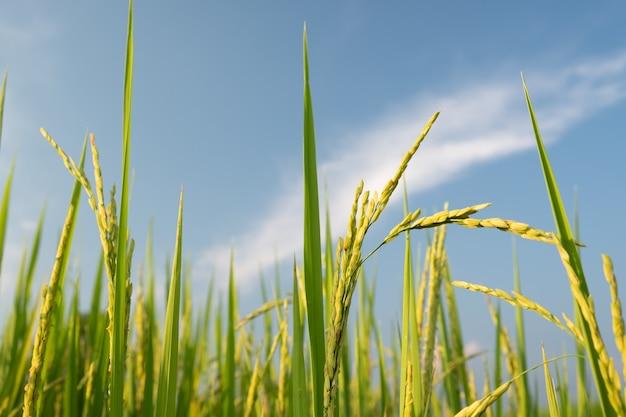 稲は水田で成長しています。青い空と雲