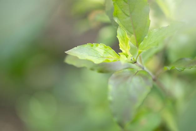 チリグリーンの葉
