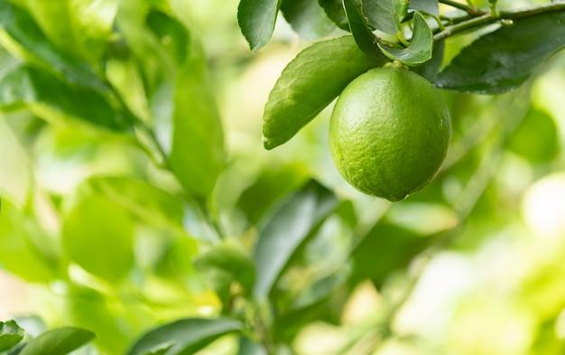 庭の木、緑のレモンとコピースペースにライムします。