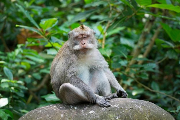猿の肖像画は岩の上に座るリラックス