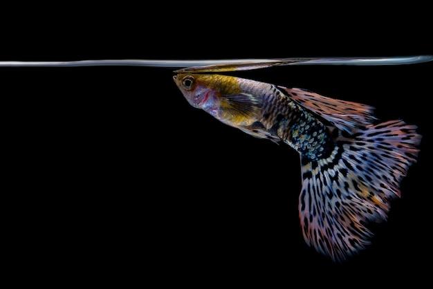 Рыбный гуппи