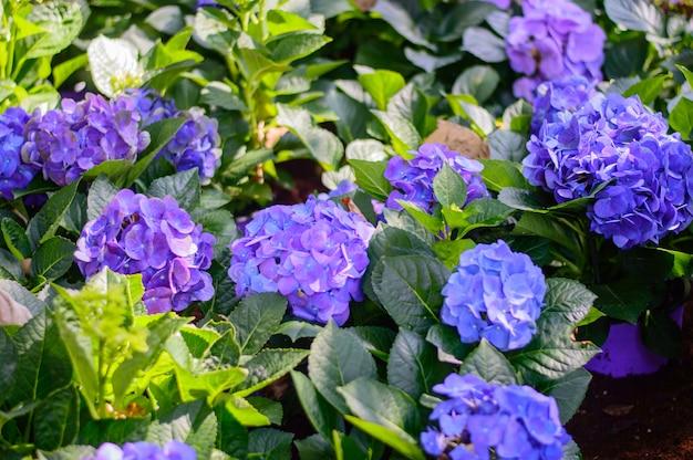 青と紫のアジサイの花