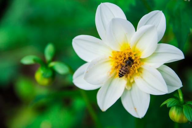 蜂は白い花から蜜を食べる。