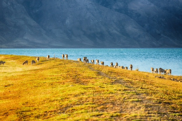 Живописный вид овец на южном острове новой зеландии, концепция туристических направлений