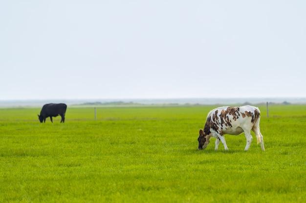 アイスランドの火山の風景の中の牛を放牧
