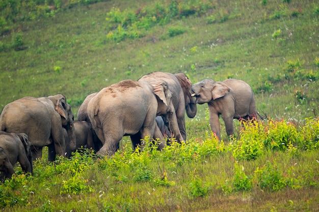 カオヤイ国立公園、タイ、野生の動物で象の家族のシーン