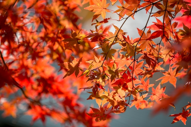 Осень оставляет цвета деревьев в кавагутико японии.