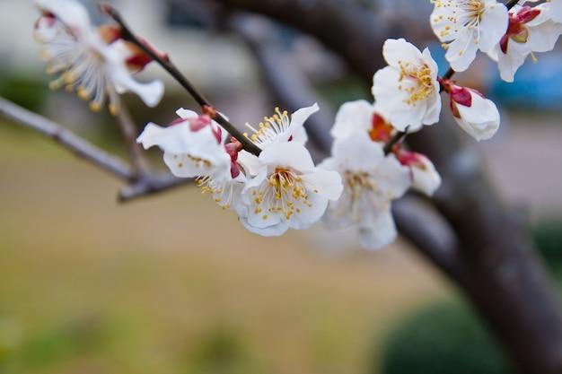 日本の美しい白い桜