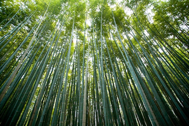 Бамбуковый лес арашияма, кёто япония