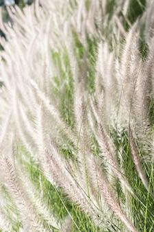 自然の中で羽毛草