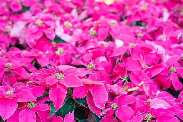 クリスマスの星または庭のユーフォルビアプルケリマ