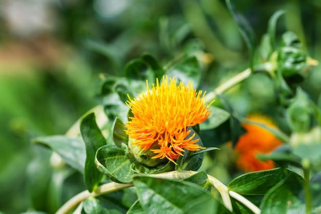 Цветы сафлора в поле