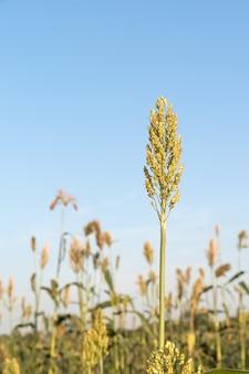 ソルガムまたはミレーの畑