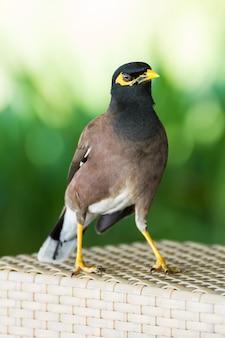 一般的な丘のミナ鳥