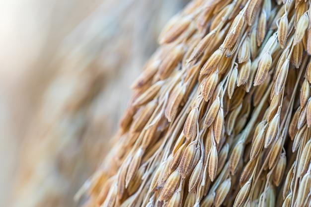 乾いた水稲の種