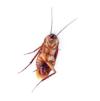 白い背景の上の死んだゴキブリ