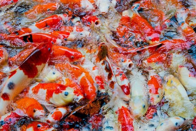 Карп пруд для разведения рыбы, японский карп кои