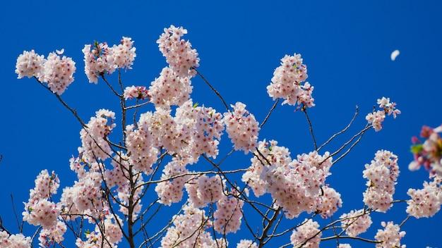 日本の桜の花