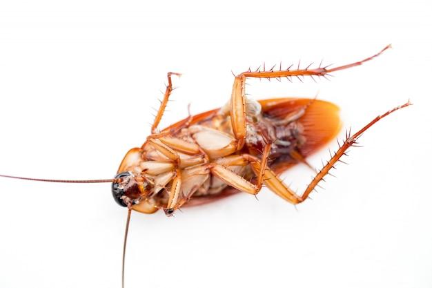 死んだゴキブリ