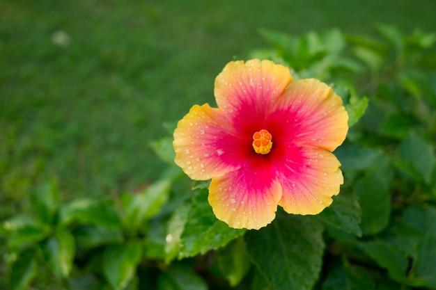 ハイビスカスの花、自然