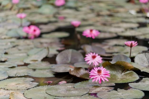 池の美しい蓮の花、蓮の水滴