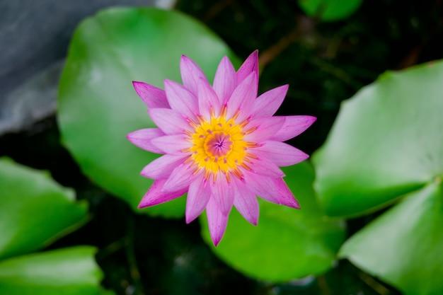 池の美しい蓮の花、蓮の水滴、ピンクの白い色