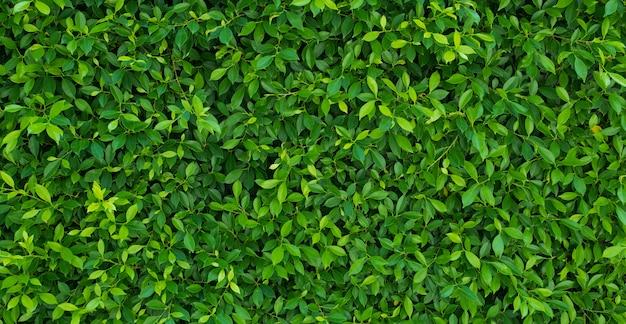 緑の葉の壁の背景、葉の壁の自然の背景、