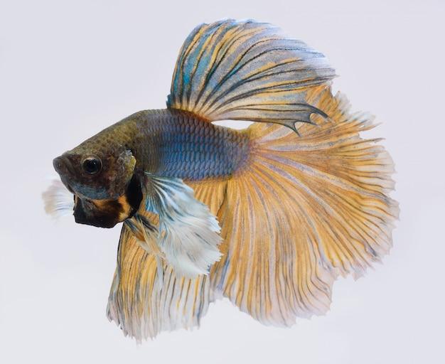 Полумесяц бетта рыбы, сиамские боевые рыбы, бетта спленденс