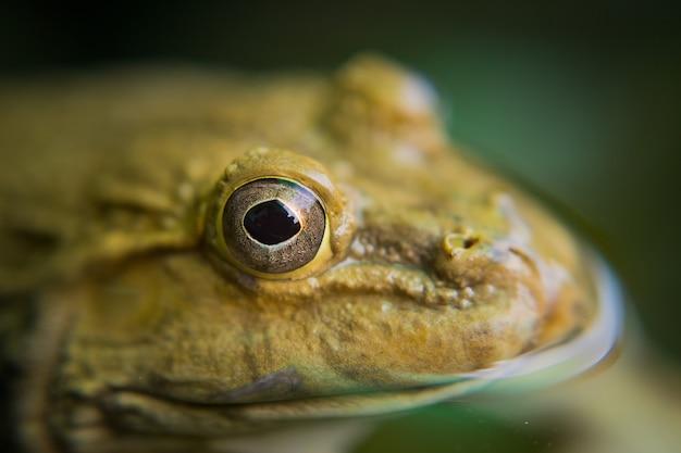 クローズアップカエル、水のカエル
