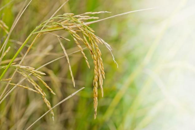 水稲、緑の自然の背景、有機食品