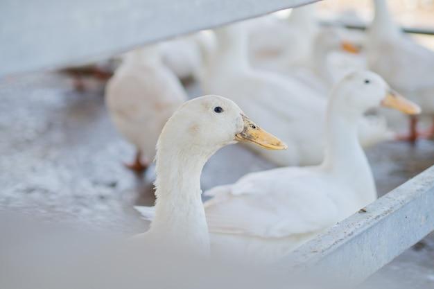 Белая утка, животное