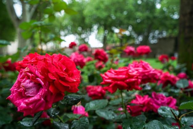 ぼんやりとした緑色の背景に雨の水滴と赤い花を咲かせ