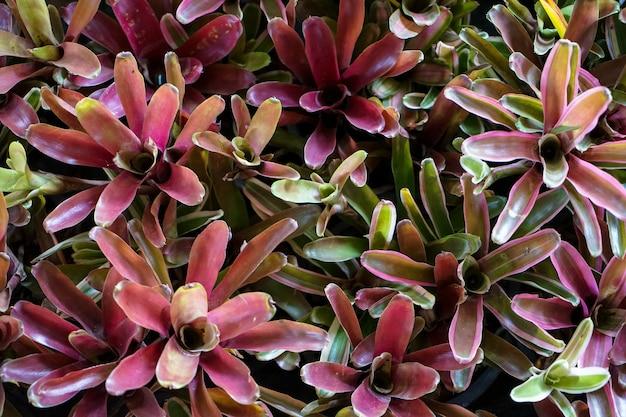 紫色のパステルカラーのアエコメア・ファシアテ植物の自然のパターンの背景