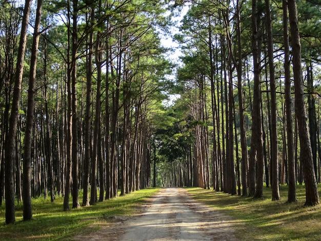 タイの北部、快適な公園の自然の道沿いの松の木の列