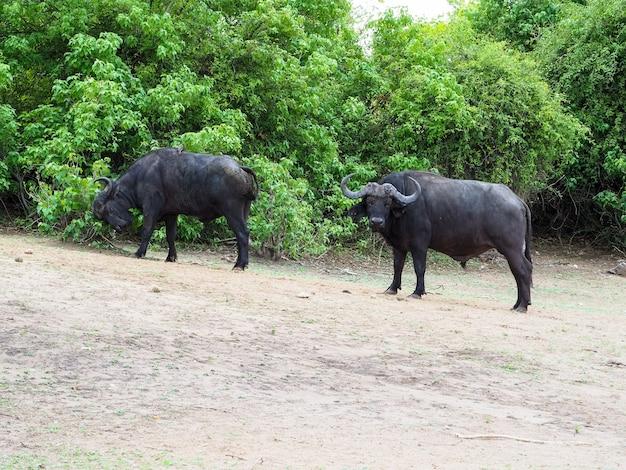 彼らの生息地、チョベ国立公園、ボツワナの食糧のためのアフリカのバッファローグループの所見