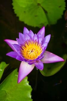美しいスイレンまたはハスの花