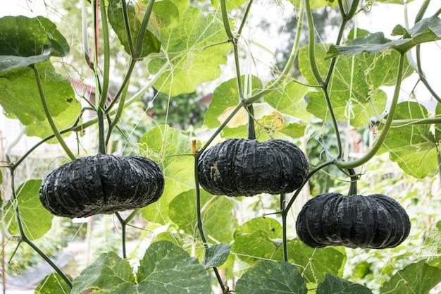 コピースペースで収穫する準備ができて庭の緑のカボチャ