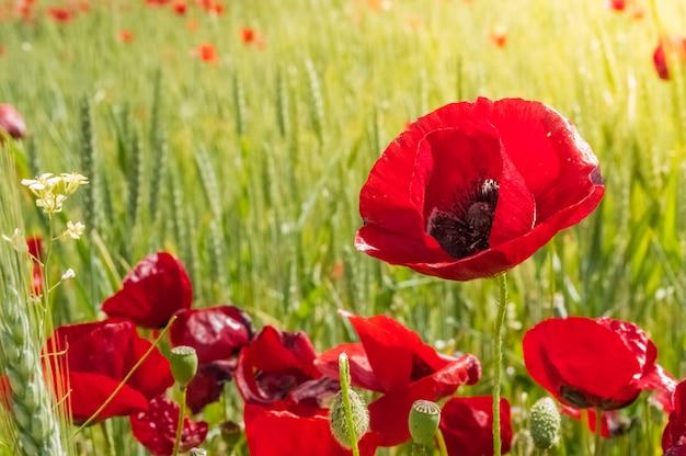 フィールドに赤いケシの花