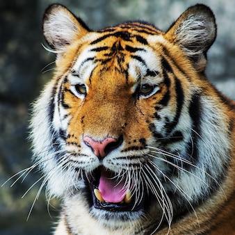 Тигр, портрет бенгальского тигра.