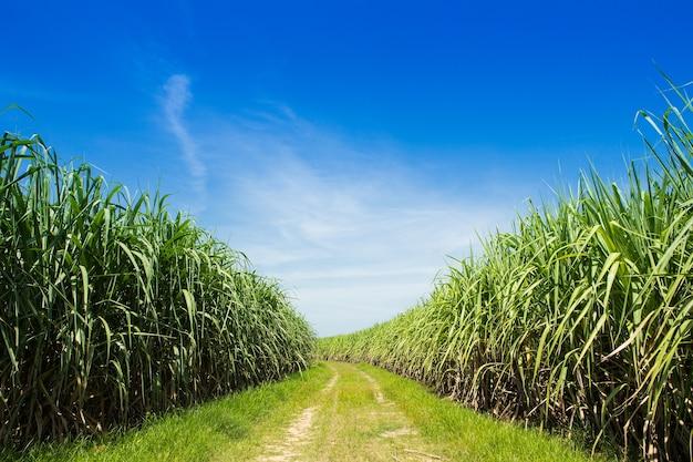 Сахарное поле и дорога с белым облаком в таиланде