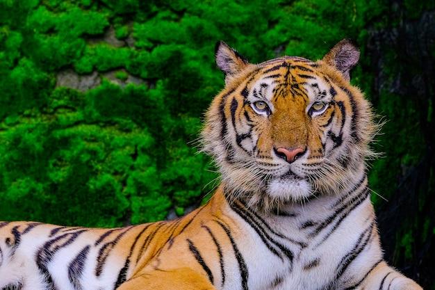 ベンガルの虎はジャングルの動物園の中から緑色の苔の近くにあります