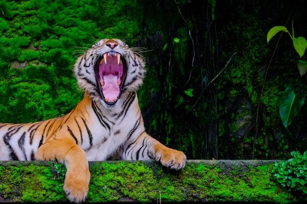 ジャングル動物園の中から緑の苔で近く休んでベンガルトラ