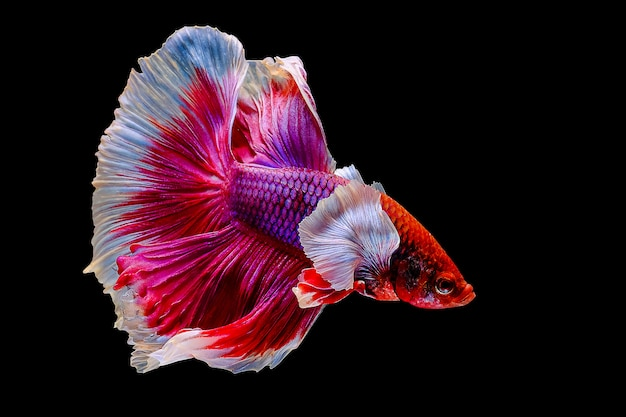 Бетта рыбы, сиамские боевые рыбы на черном фоне